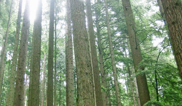 Trees on the Grouse Grind