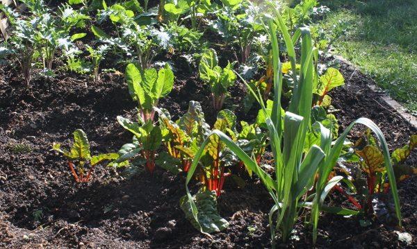 backyard veggie garden