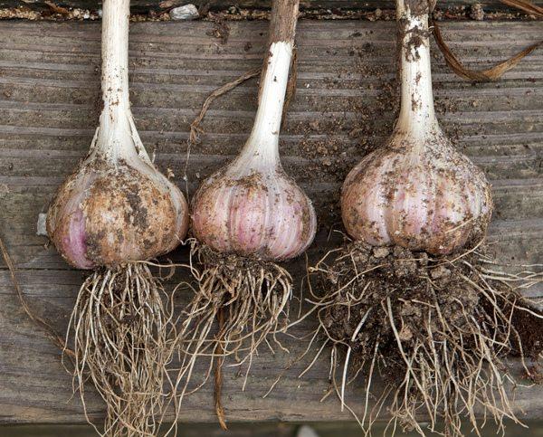 grow your own garlic