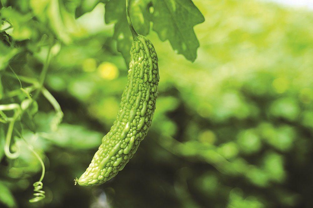 edible garden gigantico bitter melon summer in vancouver